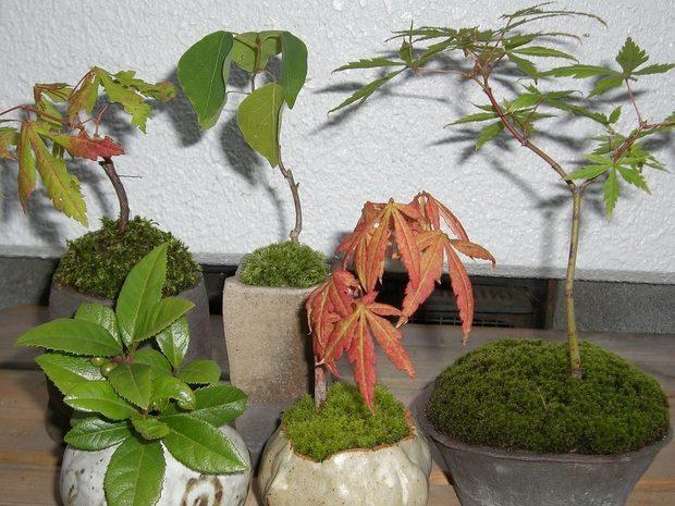 ミニ盆栽サンプル