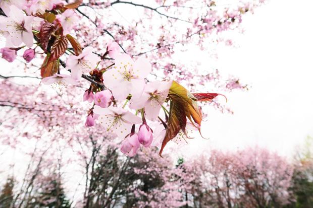 5月2日桜(満開)
